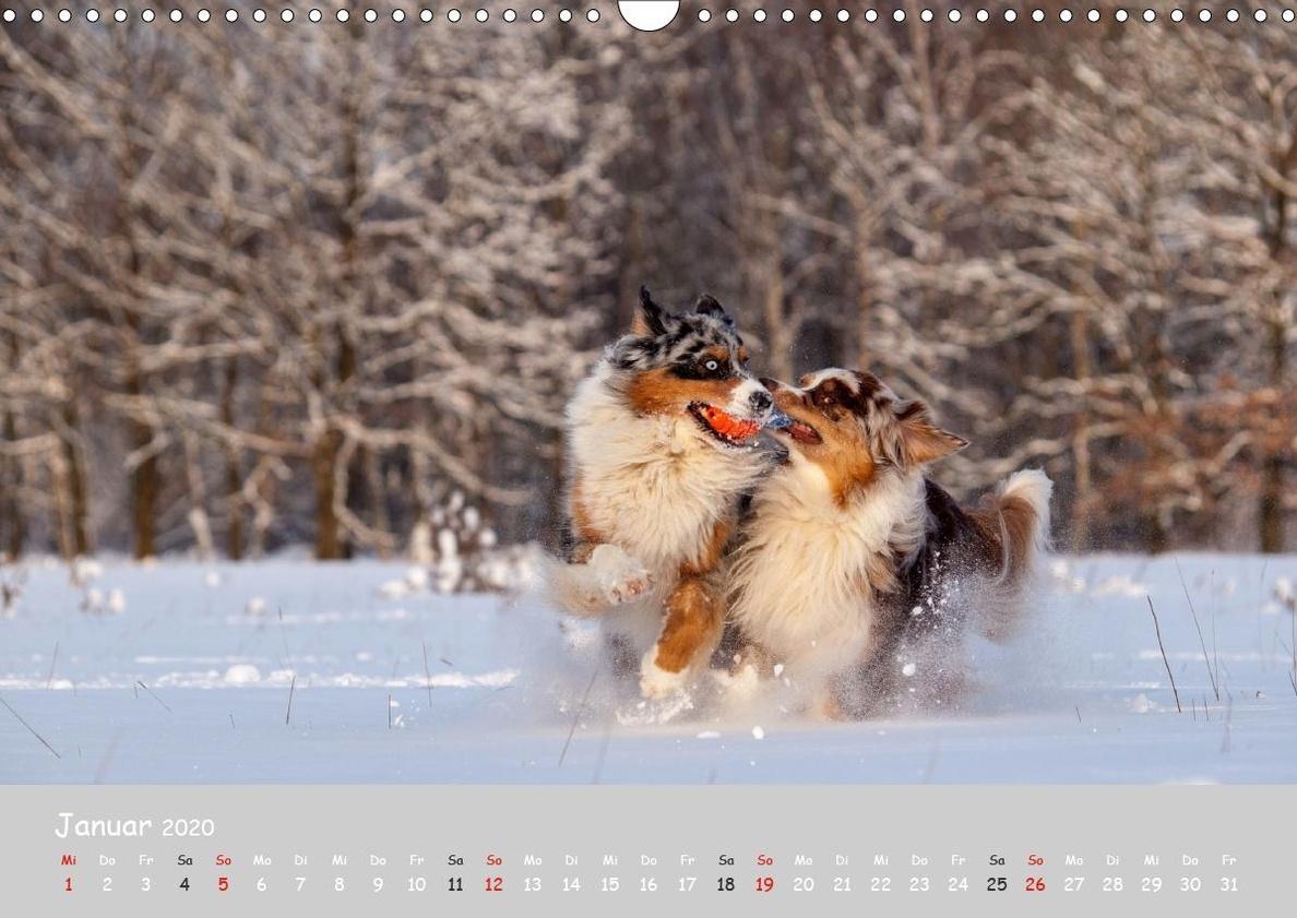 Australian Shepherd 2020 Wandkalender 2020 Din A3 Quer Kalender Bestellen