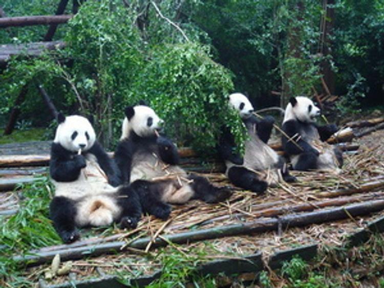 Film den Weg des Pandas abnehmen