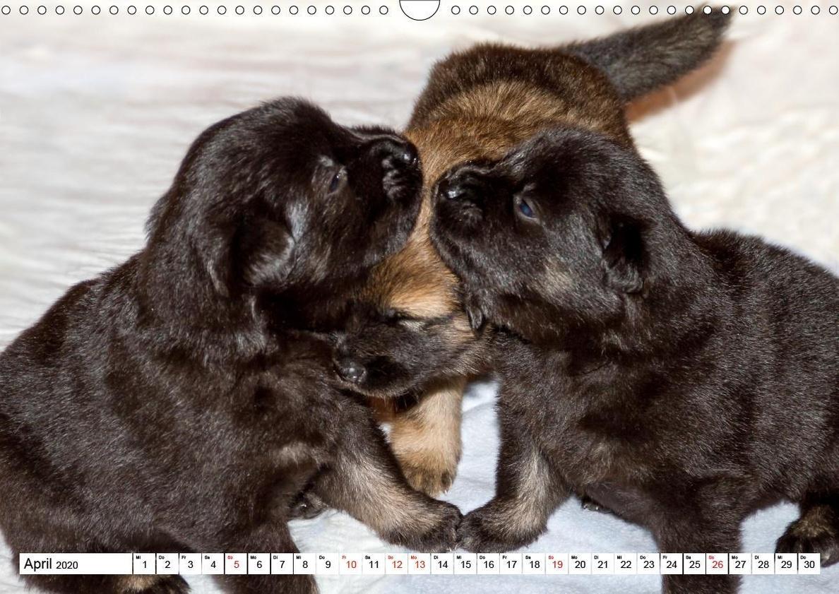 Eurasier Der Hund Im Wolfspelz Wandkalender 2020 Din A3 Quer Kalender Bestellen