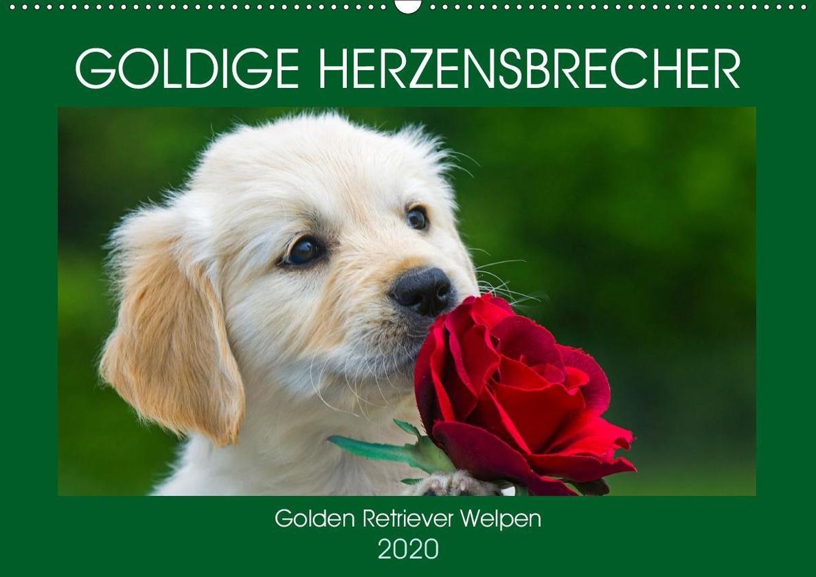 Goldige Herzensbrecher Golden Retriever Welpen Wandkalender 2020 Din A2 Quer Kalender Bestellen