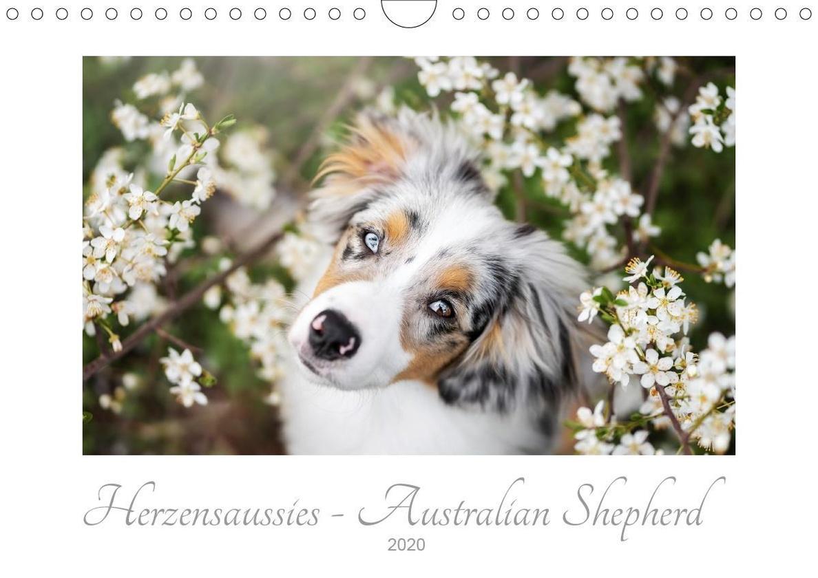 Herzensaussies Australian Shepherd Wandkalender 2020 Din A4 Quer Kalender Bestellen
