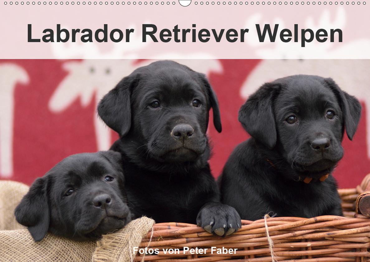Labrador Retriever Welpen Wandkalender 2020 Din A2 Quer Kalender Bestellen