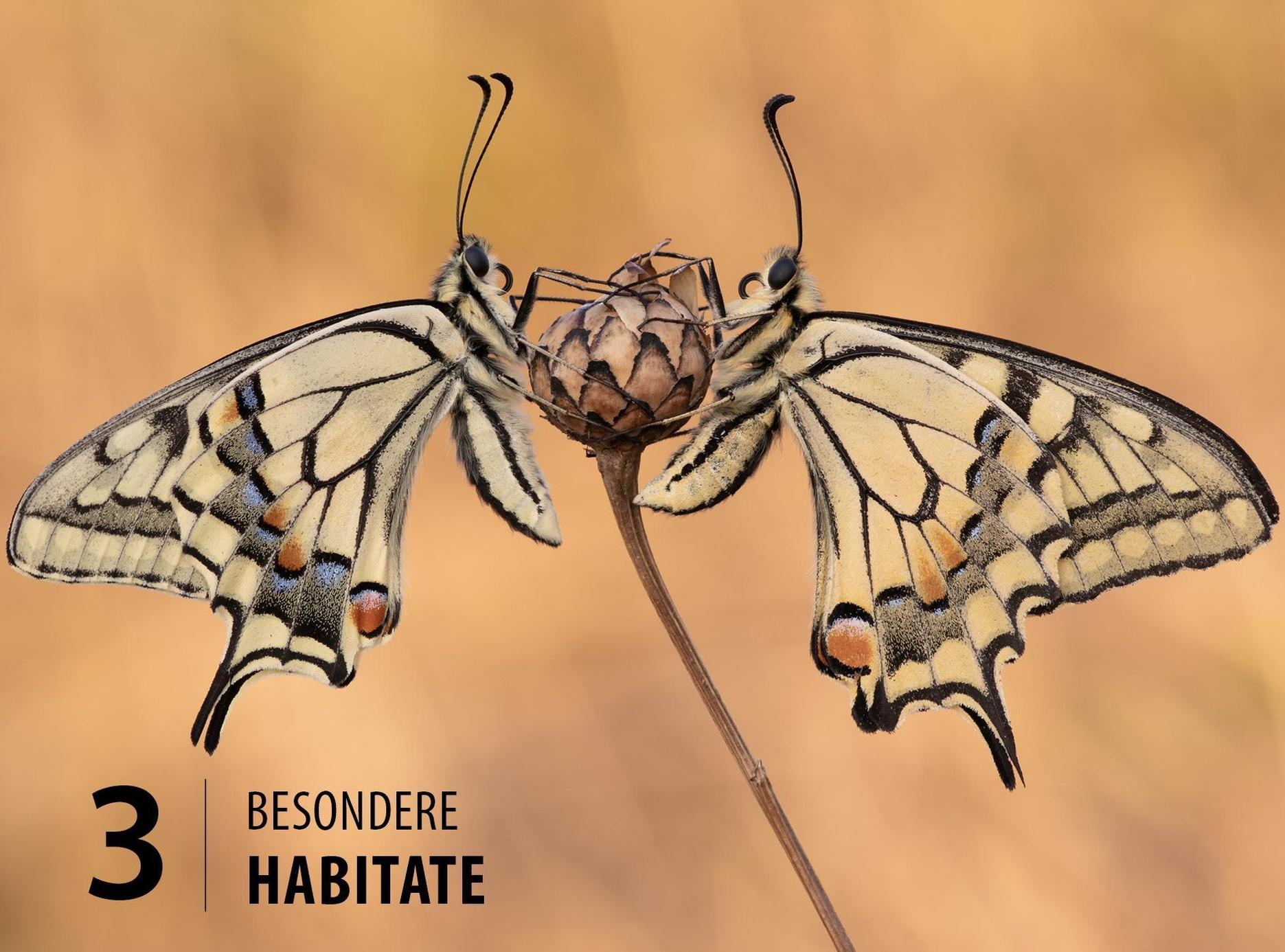 Bedeutung schmetterling Krafttier Schmetterling