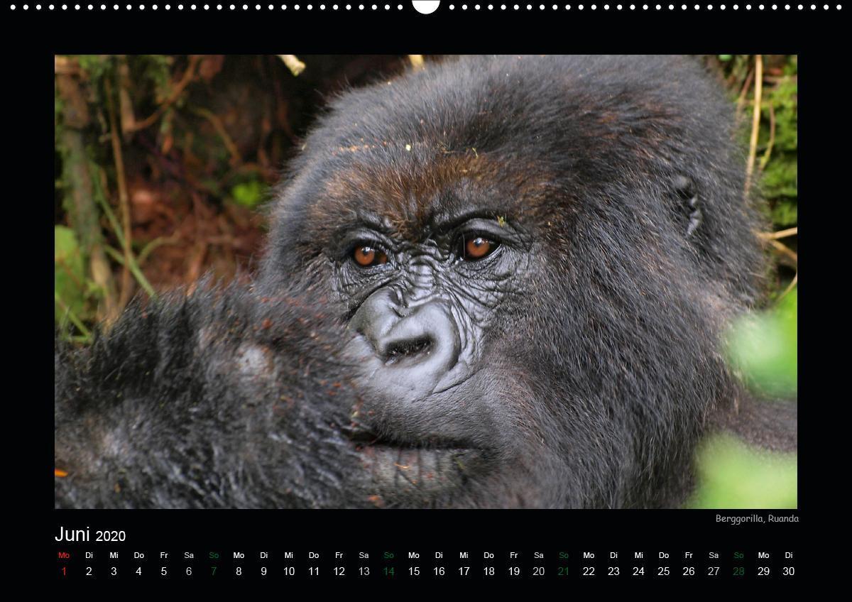 Faszination Afrika: Löwen Wandkalender 2020 DIN A2 quer