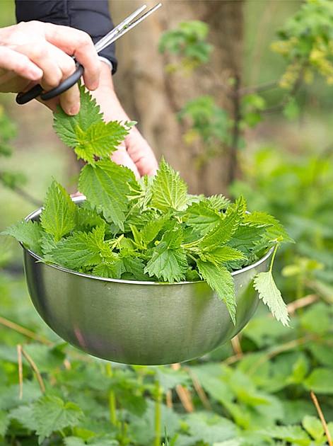 Pflanzenschutzmittel und Pflanzendünger einfach selbst herstellen zum Beispiel aus Brennnesseln