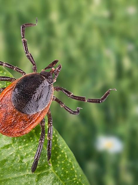 So gefährlich sind die Bisse der blutsaugenden Spinnentiere wirklich