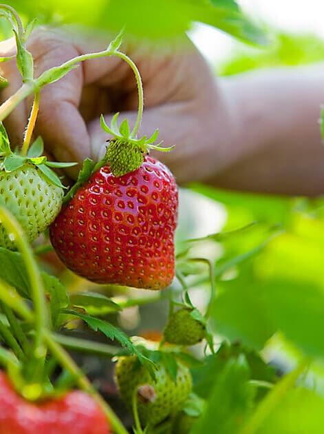 Erdbeeren: gesund & lecker