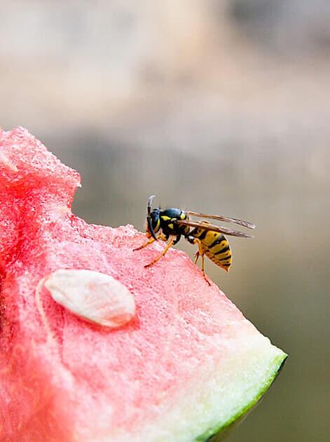 Im Hochsommer fliegen Wespen besonders auf süße Lebensmittel
